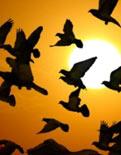 Kuşlar küresel ısınma kurbanı
