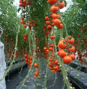 Suda domates yetiştiriyorlar