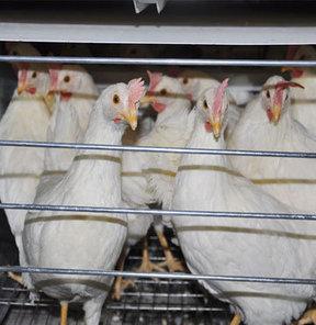 Tavuk üretiminde şok artış!