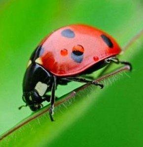 Uğur böceğinin büyük faydası