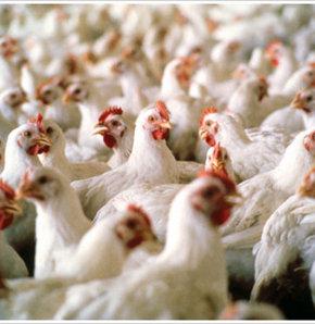 Tavuklar sağlıksız mı?