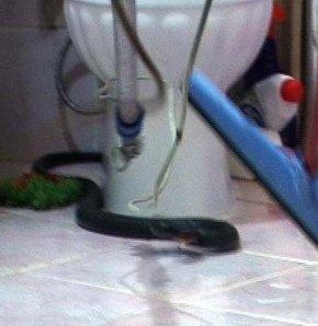 Eve giren yılan operasyonla çıkarıldı