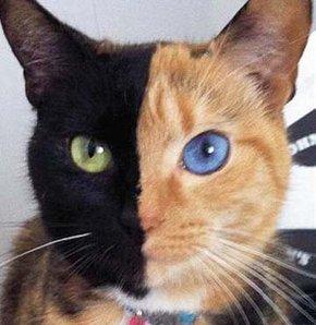 İki yüzlü kedi!