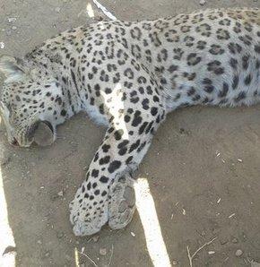 İşte leoparı öldürene verilen ceza!