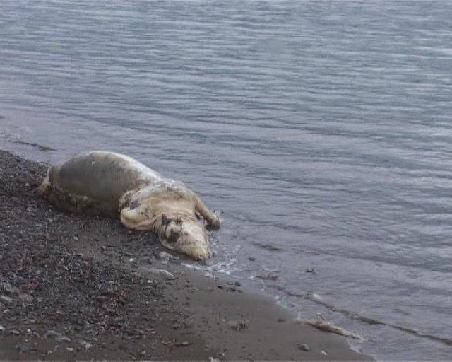 Marmaris'te sahile 'kutsal inek' vurdu