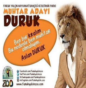 Darıca Hayvanat Bahçesi'nde muhtarlık seçim yarışması yapıldı. Toplam 4 adayın yarıştığı muhtarlık seçiminde en çok oyu alan Doruk isimli aslan Darıca Hayvanat Bahçesi'nin muhtarı oldu.