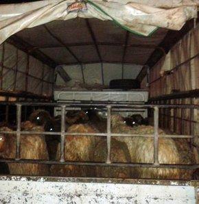 Çobanı ilaçla uyutup 302 küçükbaş hayvanı çaldılar