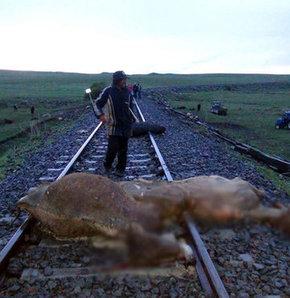 Kars'ta tren sürüye çarptı!,Kars'ta tren sürüye çarptı: 50 hayvan telef oldu, 30 hayvan yaralandı