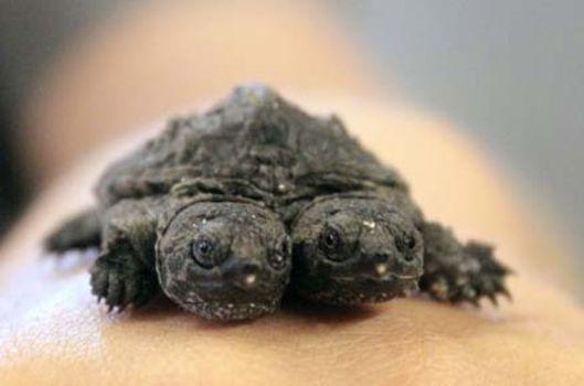 İki başlı kaplumbağa dünyayı şoke etti!