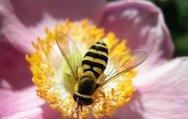 Bal arısı antibiyotiğe alternatif olacak