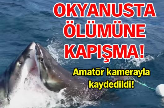 Köpekbalıkları kapıştı