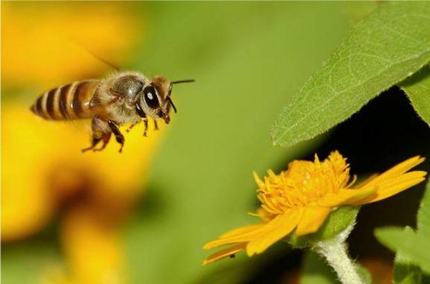 Dedektör arılar geliyor!