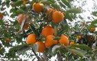 'Cennet meyvesi' kanserden koruyor!
