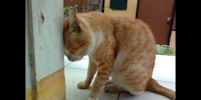 Kafasını sürekli duvara yaslıyorsa dikkat!, Kedi ve köpeklerde duvara baş yaslama ciddi sorunların habercisi olabiliyor