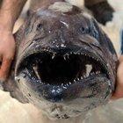 Türkiye sularında ilk kez bu büyüklükte yağ balığı bulundu!
