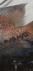 Konyalı kasabın 10 liraya aldığı balığın üzerinde Allah yazısı görüldü