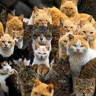 Japonya'ya bağlı Aoshima adasında kişi başına 6 kedi düşüyor!
