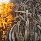 Kaçakçılıkla mücadele için 15 ton fil dişi yakıldı