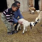 Konya'da beş ayaklı kuzu