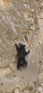 Yavru ayı dik yamaca böyle tırmandı!