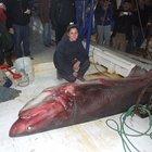 Karides avına çıktı, 600 kiloluk camgöz yakaladı