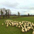 Sürüyü kontrol eden çoban drone!