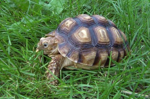 Kaplumbağalar için sempozyum