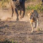 Aslanları buffalolar kovaladı!