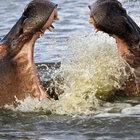 Kızgın ve öfkeli su aygırlarının kavgası!