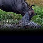 Timsah'a yem olmak üzere olan antilopun kaderi...