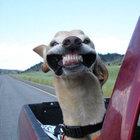 Köpeklerin arabayla keyifli yolculuğu!