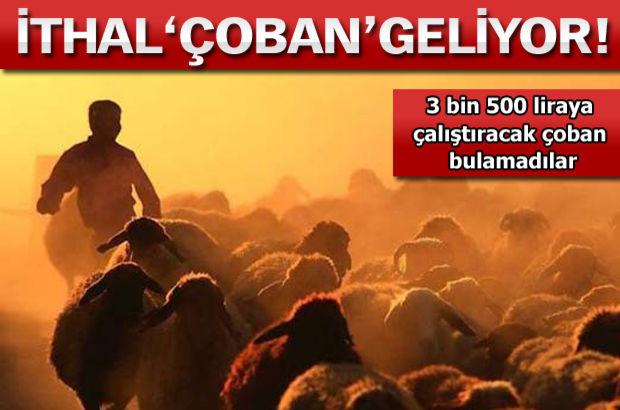 3.500 liraya çalışacak çoban bulunamıyor