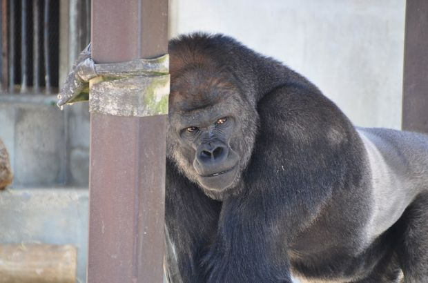 Yakışıklı gorile ziyaretçi akını...