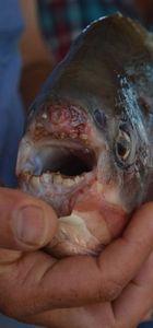 """İznik Gölü'nde 2,5 kilogramlık """"pirana"""" yakalandı"""