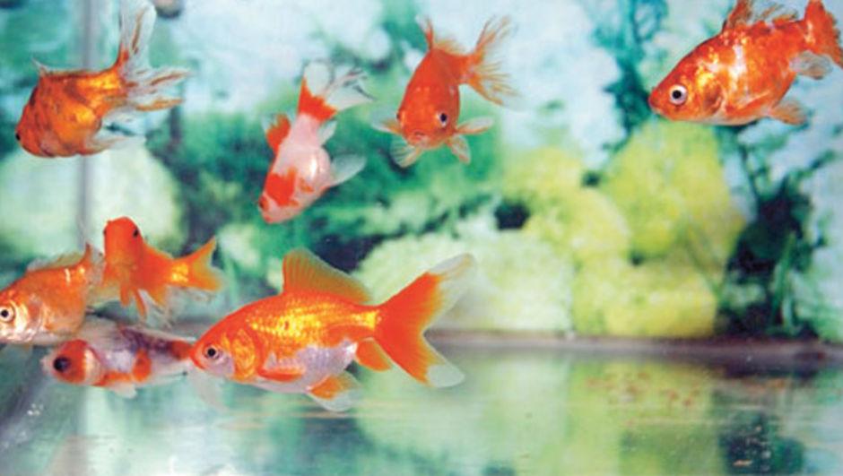 Bursa Büyükşehir Belediye Başkanı Recep Altepe, şebeke sularını japon balıklı bir akvaryumda test ettiklerini söyledi
