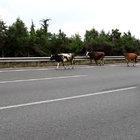 TEM otoyoluna giren inekler trafiği birbirine kattı