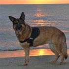 Savaş gazisi köpek Lucca!