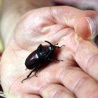 Gergedan böceği bu kez Erzurum'da görüldü