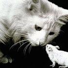 Kedilerden farelere psikolojik saldırı
