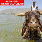 Van Gevaş'ta koyunlara sabunlu duş!