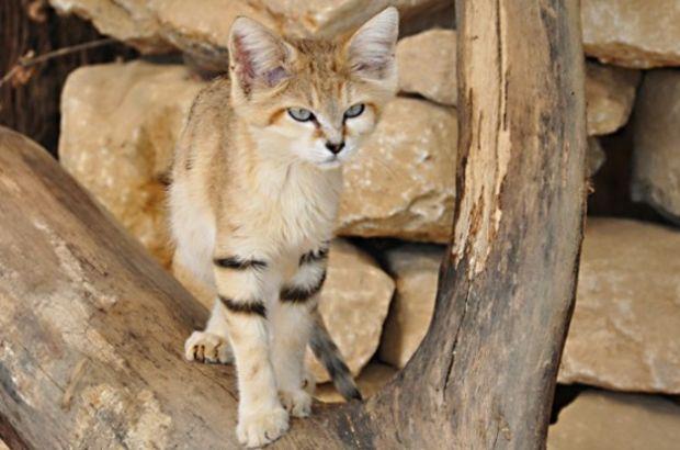Avusturalya'da doğaya zarar verdikleri gerekçesiyle 2 milyon yabani kedi avlanacak
