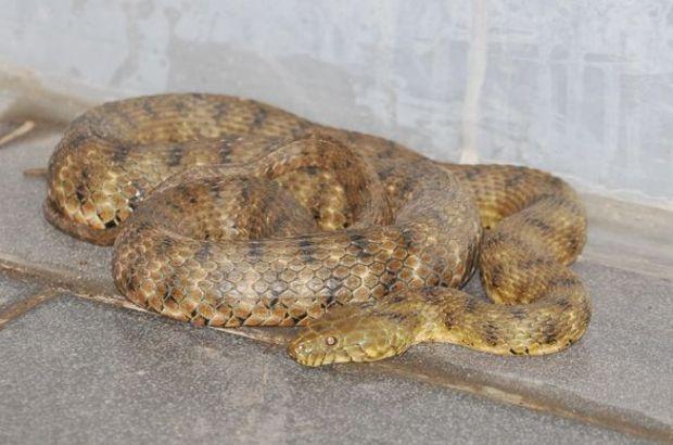 manisa otel zehirli yılan