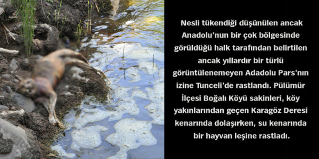 Tunceli'de Anadolu Parsı bulundu!