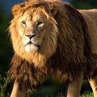 Simge aslanın katili ortaya çıktı!
