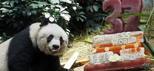 En yaşlı panda doğumgünü kutladı!