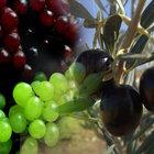 Yaz kuraklığı Fransa'da üzümü, İspanya'da zeytini vurdu
