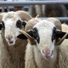 Tarım Bakanlığı: Kurbanlık hayvan sıkıntısı yaşanmayacak