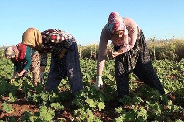 Denizli'nin Çal ilçesi, Bamya hasat zamanı, Geleneksel Türk mutfağı, Çal Ziraat Odası Başkanı Haşim Ahmet Çil,