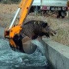 Sulama kanalına düşen domuzu kurtarma operasyonu