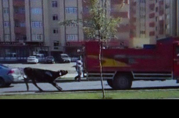 Erzurum'da boğaya yapılan eziyet böyle görüntülendi